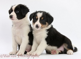 Border Collie pups, 6 weeks old