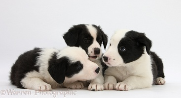 Three Black-and-white Border Collie pups, 6 weeks old