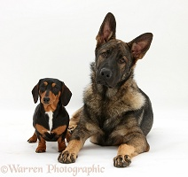 Tricolour Dachshund and Alsatian