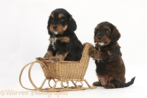 Cockapoo pups playing with a wicker toy sledge