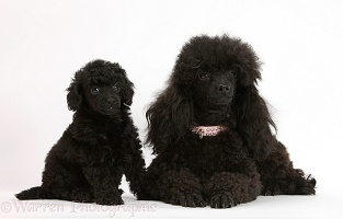 Black Toy Poodle bitch and pup, 7 weeks old