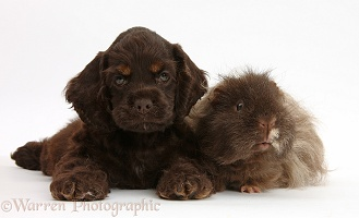 American Cocker Spaniel pup and shaggy Guinea pig