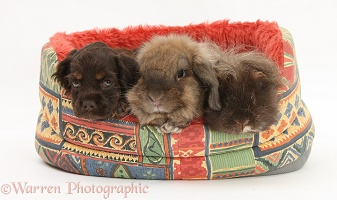 American Cocker Spaniel pup, rabbit and Guinea pig