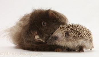 Baby Hedgehog and shaggy Guinea pig