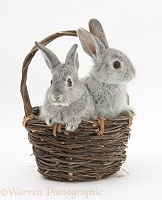 Silver baby rabbits in a wicker basket