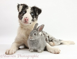Border Collie pup and silver baby rabbit