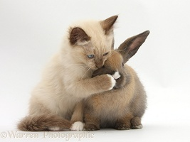 Ragdoll-cross kitten and young rabbit