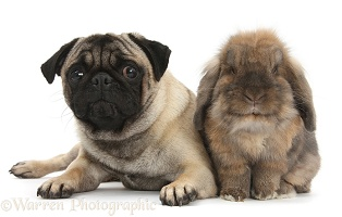 Fawn Pug and Lionhead-cross rabbit