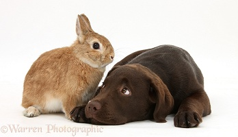 Chocolate Labrador pup and rabbit