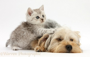 Yorkie and tabby kitten