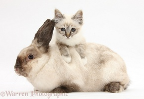 Tabby-point Birman kitten and colourpoint rabbit