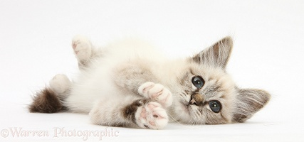 Tabby-point Birman kitten lying on it's side