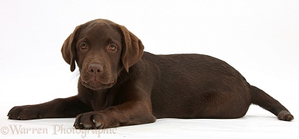 Chocolate Labrador pup