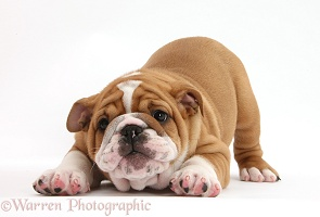 Cute playful Bulldog pup, 8 weeks old, in play-bow