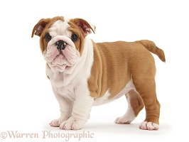 Bulldog pup, 8 weeks old