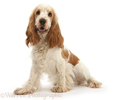Orange Cocker Spaniel