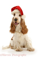 Orange Cocker Spaniel wearing a Santa hat