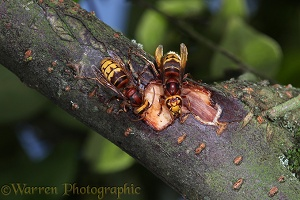 Hornet workers feeding on sap