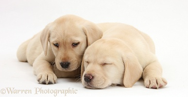 Sleepy Yellow Labrador Retriever pups, 8 weeks old