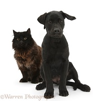 Dark chocolate cat and Black Labrador Retriever pup