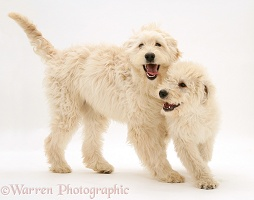 Cream Labradoodle bitch and pup playing