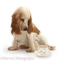 Cocker Spaniel and cup of tea