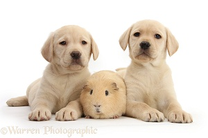 Yellow Labrador Retriever pups and Guinea pig