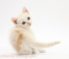 Cream kitten looking over its shoulder
