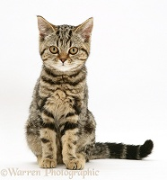 British Shorthair tabby kitten