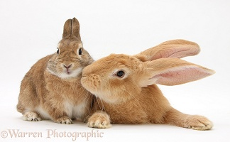 Flemish Giant and Netherland-cross rabbits