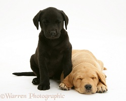 Black Labrador pup with sleeping Yellow Labrador pup