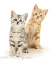 Silver tabby and ginger kittens