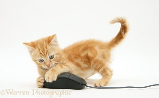 Ginger kitten with computer mouse