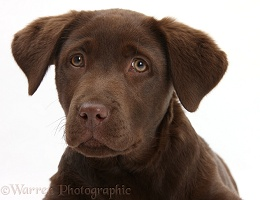Chocolate Labrador pup, 3 months old
