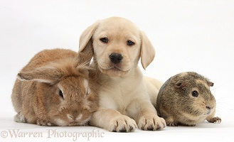 Yellow Labrador Retriever pup with Guinea pig and rabbit