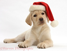 Yellow Labrador Retriever pup wearing Santa hat
