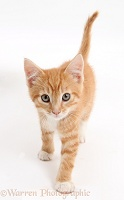Ginger kitten walking