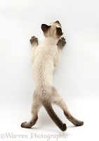 Siamese kitten, 10 weeks old, standing up, back view