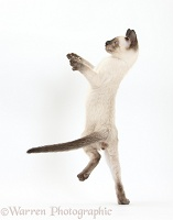 Siamese kitten, 10 weeks old, leaping