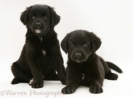Two Black Retriever pups, sitting