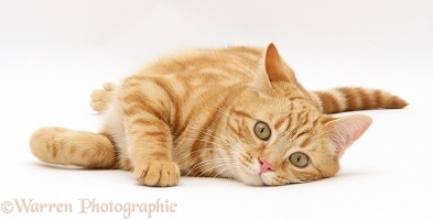 Ginger cat lying on his side