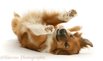 Border Collie rolling on her back