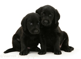 Black Goldador retriever pups