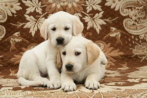 Goldador Retriever pups