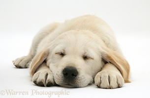 Sleeping Yellow Goldador Retriever pup