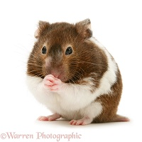 Chocolate-and-white Hamster