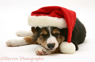 Sleepy Border Collie puppy wearing a Santa hat