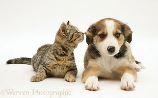 Tabby kitten and Border Collie pup