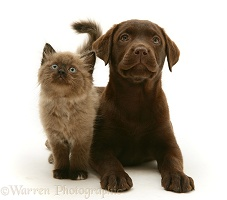 Chocolate Retriever pup with chocolate kitten