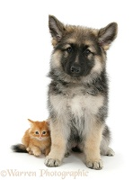 Ginger kitten with Alsatian pup